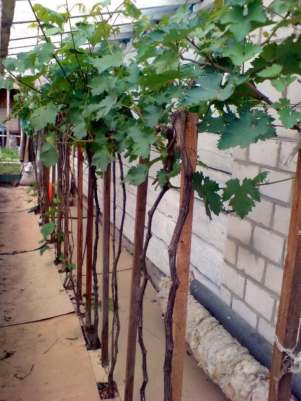 Виноград формирование куста