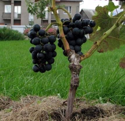 Зачем делать прививку в виноградарстве