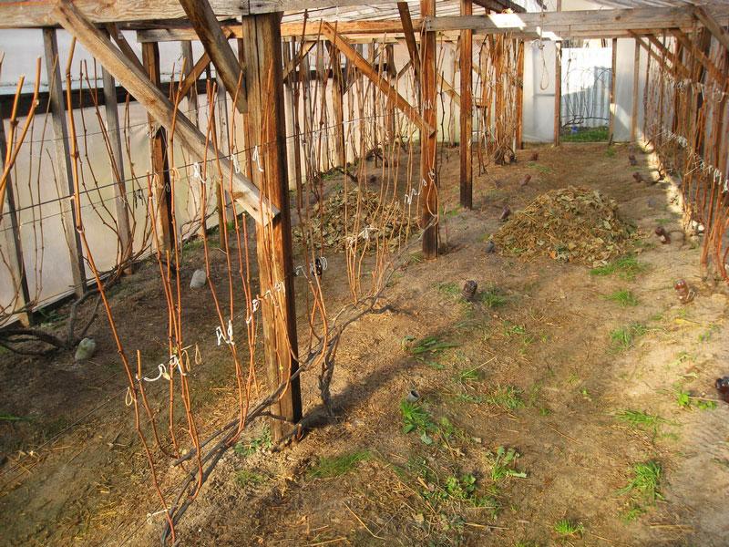 как укрыть виноград на зиму в сибири фото