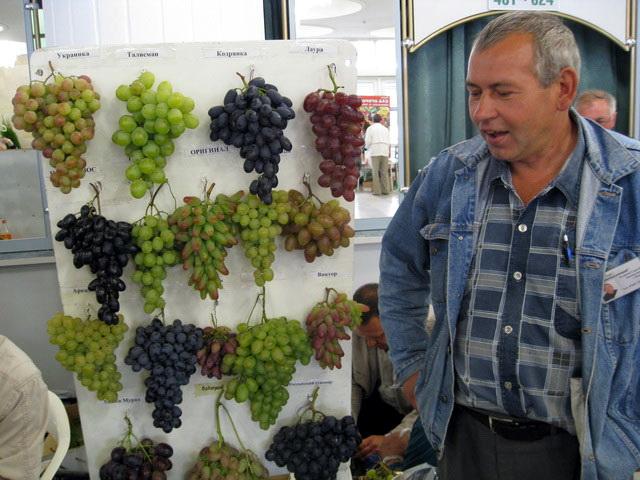 укрытие винограда на зиму фото