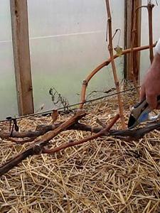 Что такое побег замещения на винограде каково его значение
