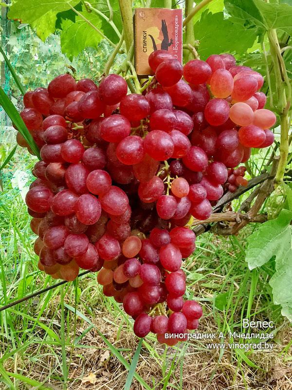 началось еще виноград кишмиш велес описание сорта фото отличаются