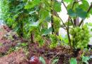 Веерная бесштамбовая формировка винограда. Выводим четырехрукавный веер.
