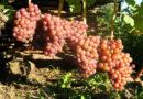 Как выбрать сорт винограда для выращивания на своем участке?