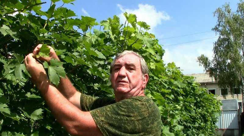 Длинные пасынки или свисающий прирост винограда?