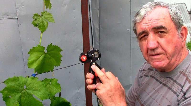 Прививка винограда зеленым в зеленое