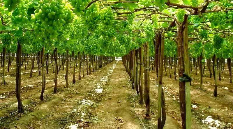 Виноград на горизонтальной шпалере. Севастополь.