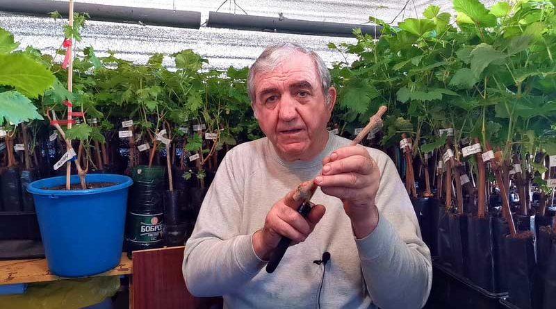 Пять главных условий успешного выращивания саженцев винограда